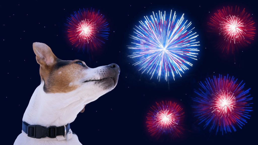 Dog on the background of the night sky with fireworks. The dog enjoys celebrating the Independence Day of America on 4th July. Greeting card for the celebration of Independence Day of America on 4th July