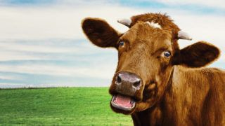 Cute brown cow at the meadow. Selective focus