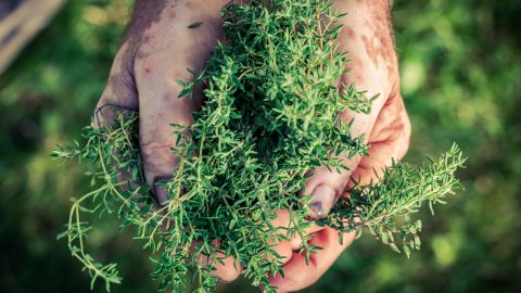 Freshly harvested thyme in hands