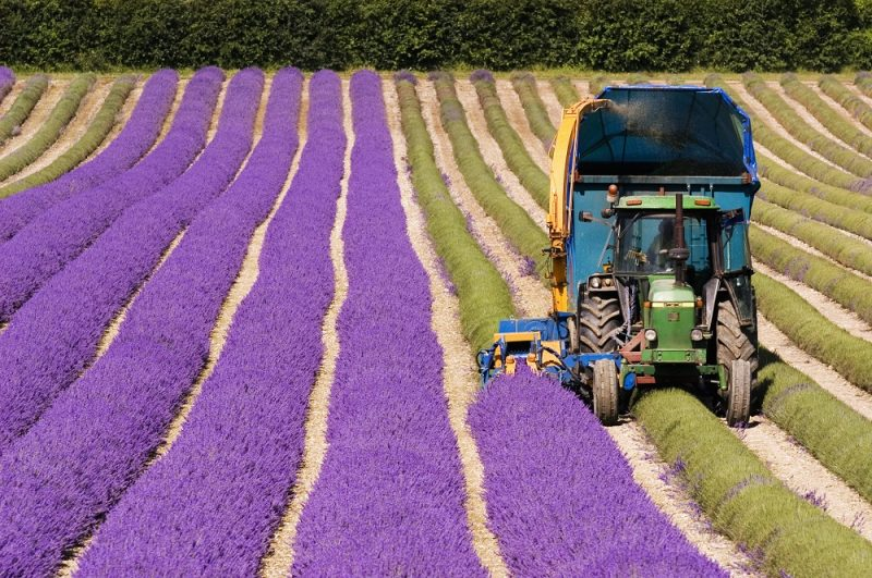 Tractor harvesting field of lavender