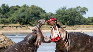 Pic by Joseph Witkowski/Caters News - (Pictured: the two hippos fight for dominance, one appearing to wear lipstick due to bloody gums.) - See the incredible images of angry hippos sporting bloody lipstick due to damaged gums. The huge beasts can be seen ferociously protecting their territory in the densely populated Luangwa River, Zambia. Fight and Travel photographer Joe Witkowski, 66, from Missouri, captured the hippos aggressively duking it out. The photographer fearlessly got up close to witness the exchange first hand on a good photo spot along the river. The bull hippo can be seen guarding his small section while the bachelor prepares to attack. SEE CATERS COPY.