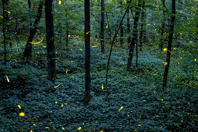 A stack of several hundred images as fireflies lit up this forest scene over several hours. Created in my hometown of Grand Ledge, Michigan in July 2013 intended for a time-lapse video.Full Firefly Time-Lapse: //www.vincentbrady.com/firefliesName: Vincent BradyLocation: Grand Ledge, Michigan, United StatesEmail: vbradyphoto@aol.comTitle: Fireflies of FitzgeraldOriginal File Name: GL_Fitzgerald.jpgPublish Date: March 26, 2014, 7:20 p.m.//yourshot.nationalgeographic.com/photos/3290465/