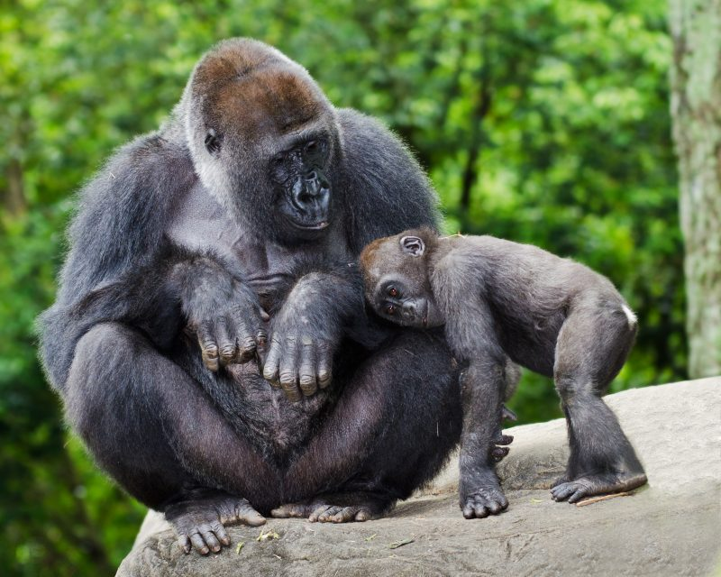 Female gorilla caring for her young..