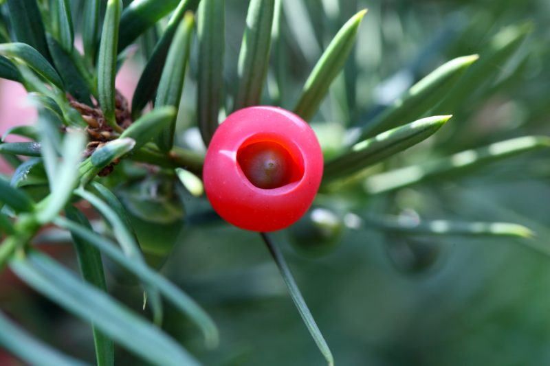 A cone of a yew (Taxus baccata)