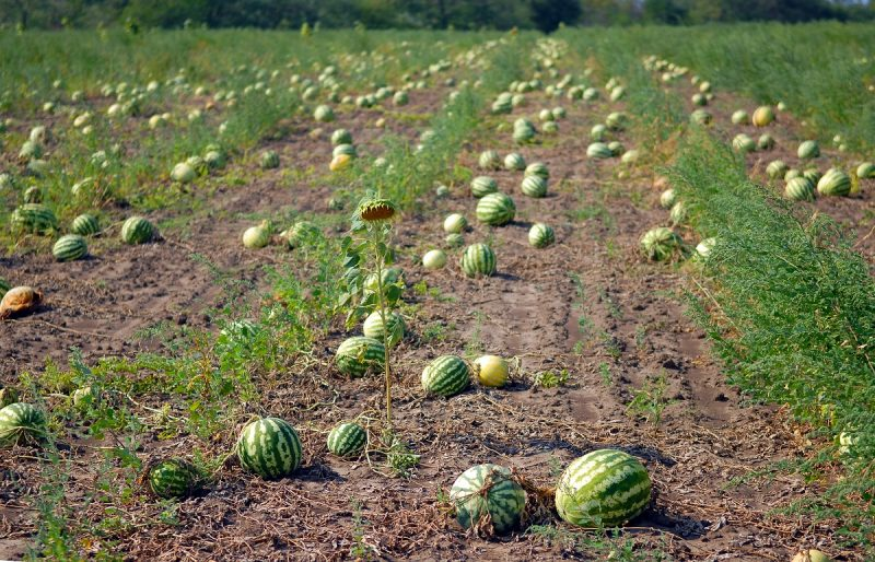 Ripe water-melons on a water-melon field