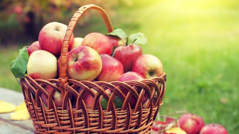 Basket with apples on the grass in the orchard