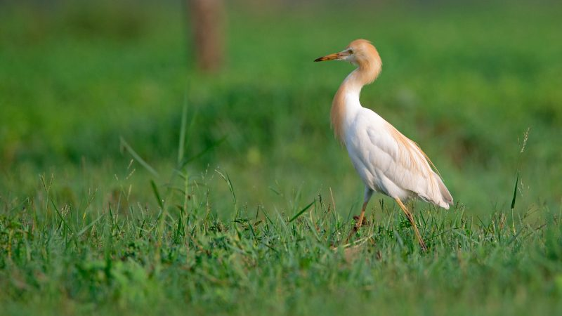 A Cattle egret walking around in a field looking for food in the morning