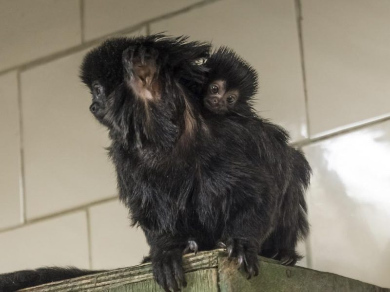Goeldi's tamarin (Callimico goeldii) father and baby in a room