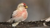 common redpoll (Acanthis flammea) in winter at feeder.
