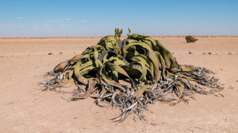 Welwitschia is the national flower of Namibia