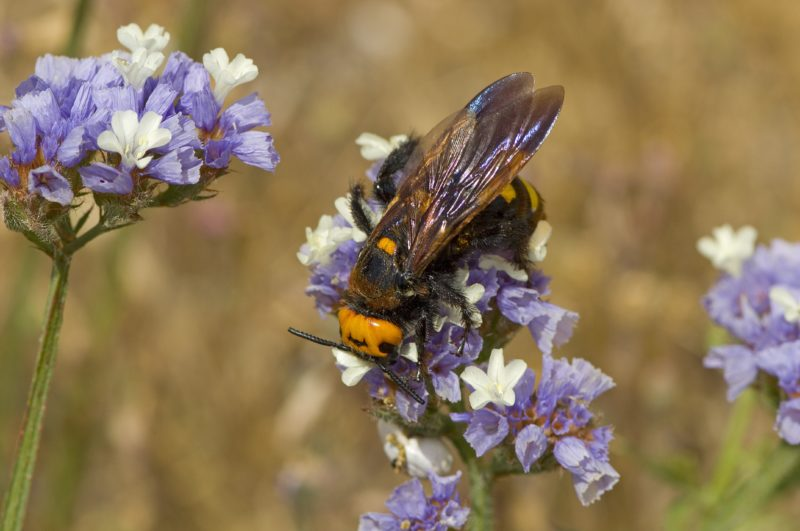 Mammoth Wasp on flowers Samos Greece.