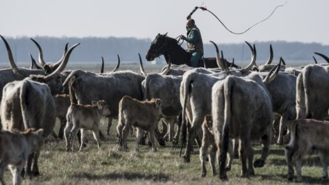 Hortobágy, 2018. május 9. Lóhátról tereli a szürkemarhákat egy gulyás a Hortobágyi Nonprofit Kft. darassai telephelyének közelében 2017. március 28-án. A Hortobágyi Természetvédelmi és Génmegõrzõ Nonprofit Kft. a Hortobágyi Nemzeti Park területén végez természetvédelmi fenntartási feladatokat. Feladataik közé tartozik a hagyományos magyar haszonállat-fajták tenyésztése, a genetikai állomány fenntartása. Az állattartás hagyományos, legeltetõ módszerrel történik, amelyet a társaság közel hatvanfõs pásztorcsapata végez. MTI Fotó: Mónus Márton