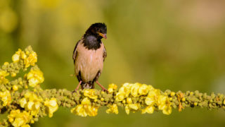 rosy Starling is on the flower on a beautiful background.