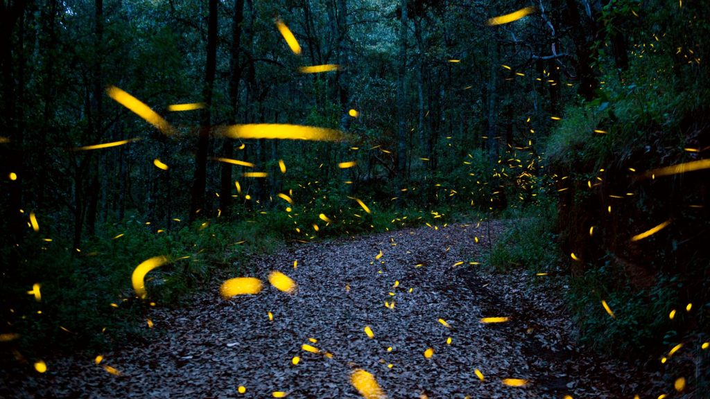 Fireflies are seen at the Santuario de las Luciernagas (Fireflies' Sanctuary) -conserved and protected by the National Forestry Commission (CONAFOR), near Nanacamilpa, Tlaxcala, on July 20, 2017. / AFP PHOTO / Mario Vazquez de la Torre