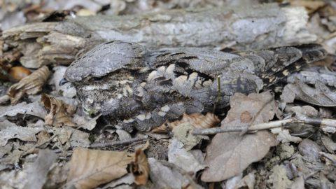 European Nightjar in dead leaves - France .    Biosphoto / Régis Cavignaux
