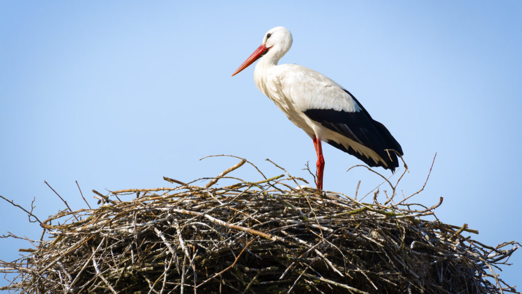 Stork standing in its nest in warm weather