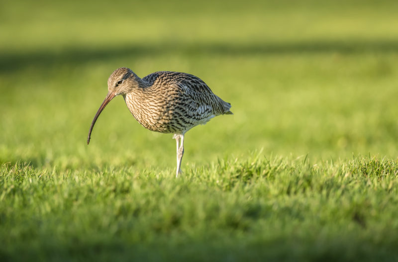 Curlew, standing on the grass, close up