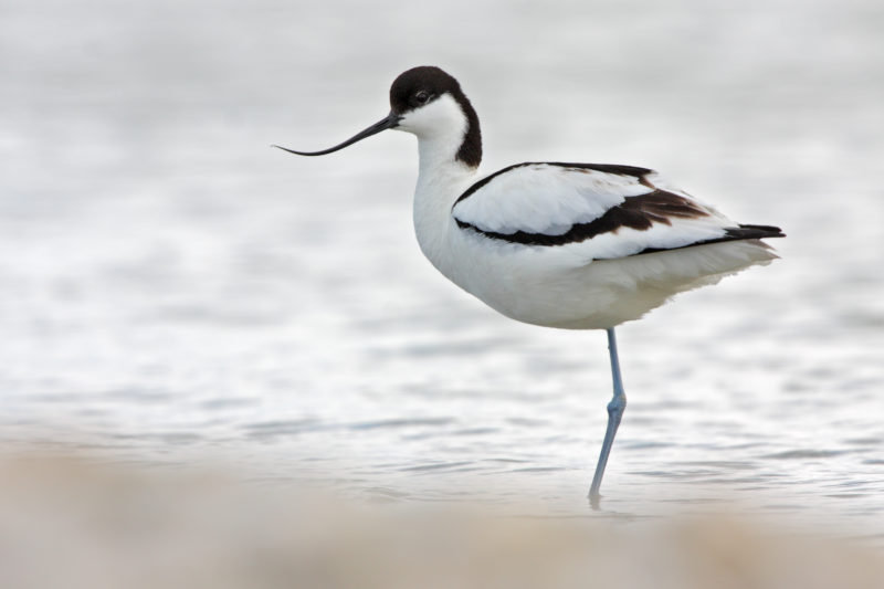 An avocet rests in a river and the clouds make white the sunlight.