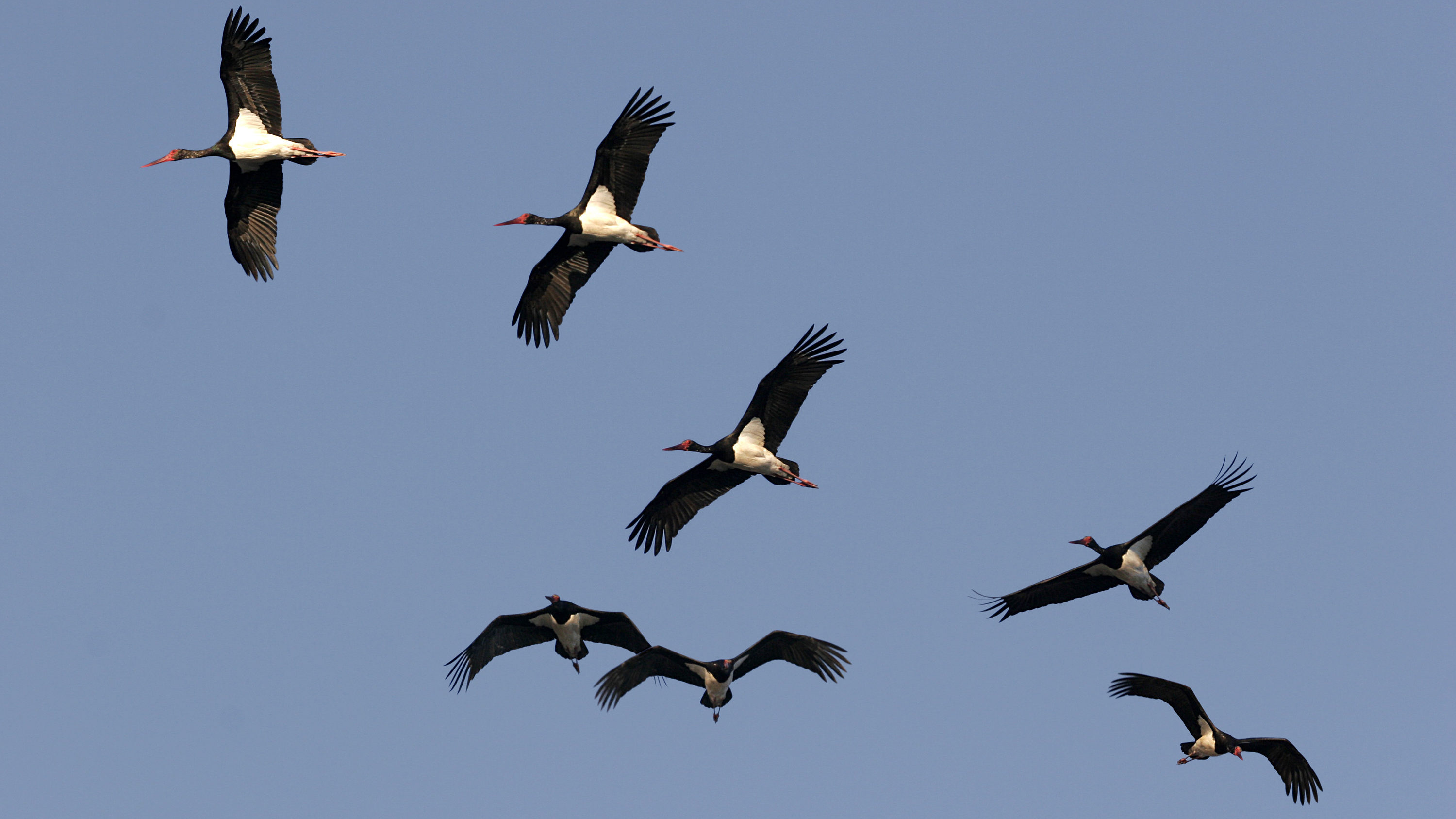 Group black Storks in flight[AT]. Wintering in the National park of Coto Donana Spain[AT] Biosphoto / Pierre Huguet