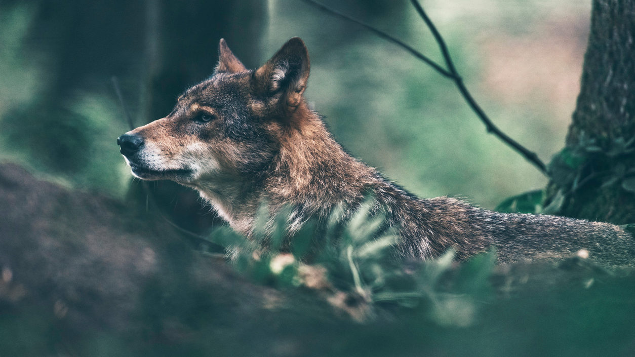 Eurasian wolf roaming in woodland. Side view.