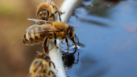 This picture was taken on a very hot day. It was an interesting moment to see the bees drinking.