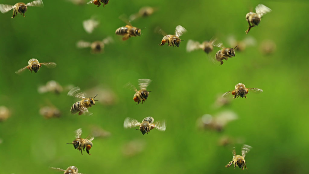 front view of flying honey bees in a swarm on green bukeh.