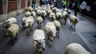 "Urban farmers walk along a street with a herd of sheep in Aubervilliers, north of Paris, on June 13, 2018 as part of a cattle drive. - The flock of 60 ewes trot past cafe terraces as they rush across a pedestrian crossing before going to graze at the foot the HLM Aubervilliers building:  behind this surrealist painting, shepherds campaign to reintroduce livestock to ""wake up the city"". (Photo by STEPHANE DE SAKUTIN / AFP)"