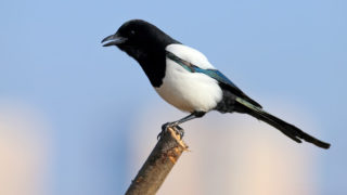 Unusual close-up portrait of a Eurasian magpie sitting on a branch against the sky and beige cane