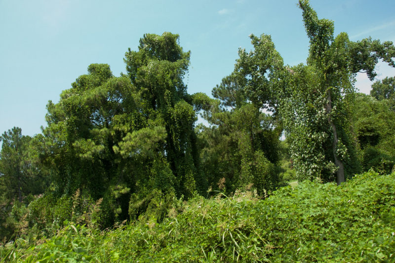 For my midwestern friends, who may never have seen the scourge of kudzu engulf and kill a mature tree!