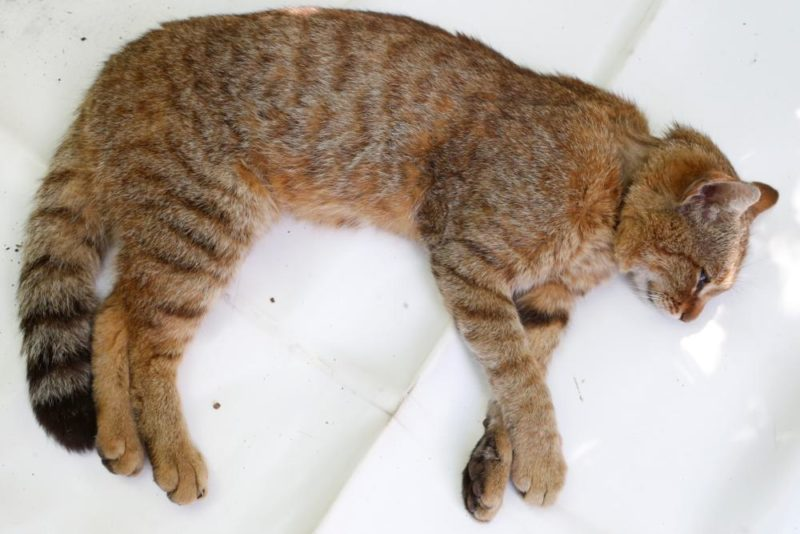 """A picture taken on June 12, 2019 in Asco on the French Mediterranean island of Corsica shows a """"ghjattu-volpe"""" (fox-cat) Felis Silvestris. - The Corsican fix-cat is a new specie of feline according to the ONCFS. (Photo by PASCAL POCHARD-CASABIANCA / AFP)"""