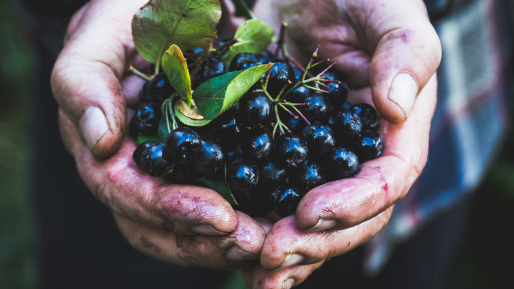 Farmer's hands with freshly harvested chokeberries. Shallow depth of field.
