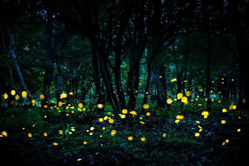 Fireflies flying in the forest at twilight.