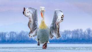 Dalmatian Pelican Pelecanus crispus. Lake Kerkini, Greece.Photographer: Caron Steele, United Kingdom. Category: Best Portrait. PEOPLE'S CHOICE CATEGORY WINNER, GOLD AWARD WINNER AND BIRD PHOTOGRAPHER OF THE YEAR WINNER.Photographer's Story: 'On arriving in Greece to photograph the Dalmatian Pelicans in their breeding plumage I discovered that Lake Kerkini, their favoured haunt, had frozen for the first time in 16 years; all the pelicans had flown off. Fortunately, a few holes started to thaw in the lake and the birds slowly began to return. Unused to the slippery icy surface of the lake they regaled us with hilarious antics as they slid across the lake surface trying to retain control as they took off and landed. I was lucky enough to capture one such rare moment when this magnificent pelican ran towards me across the ice at dusk before taking off. It was a truly unique experience, both magical and comical at the same time. And the image remains a moment of pure joy captured forever.'