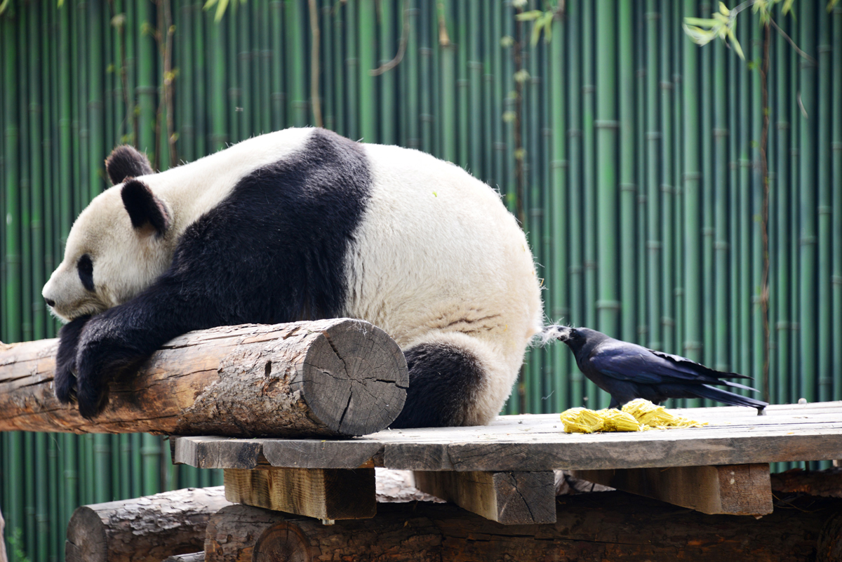 This photo taken on April 9, 2018 shows a crow pecking hair from a giant panda for nesting at Beijing Zoo in Beijing. / AFP PHOTO / - / China OUT