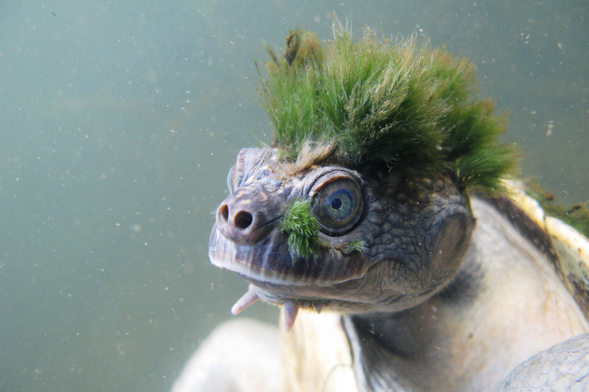 A handout picture released by the Zoological Society of London (ZSL) on April 12, 2018 shows the Australian Mary River turtle, Elusor macrurus, a native of Queensland, Australia.